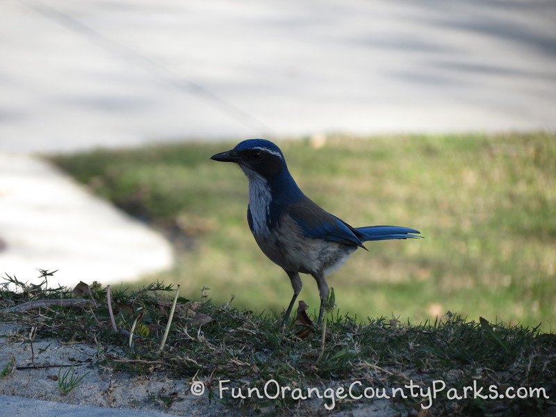blue jay on grass