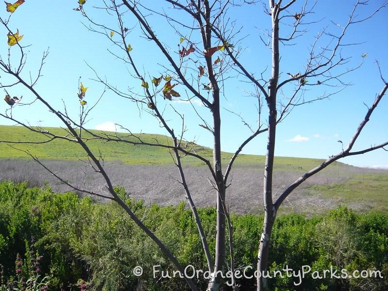 quail hill loop trail view through sycamore branches