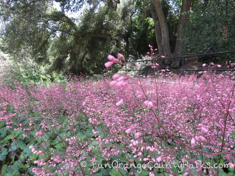 field of pink heather beneath oak trees