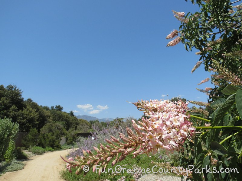 California Botanic Garden dirt trail with pink blossoms and green plants and mountain in distance