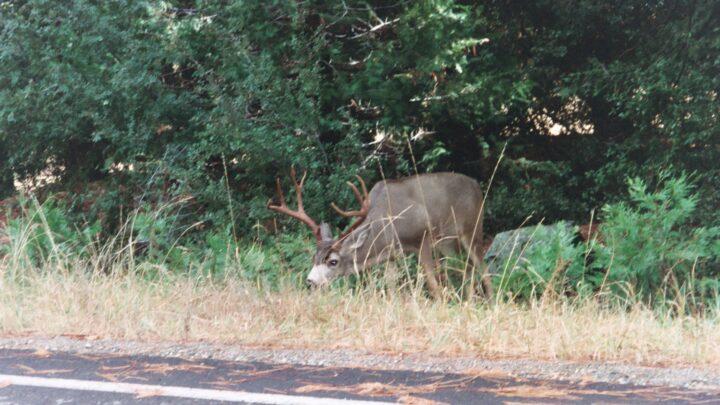 National Park Peek: Yosemite Stag