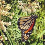 Monarch Butterflies in the School Garden!