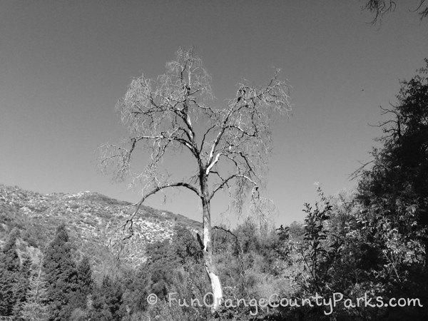 spooky tree on hike at oak glen