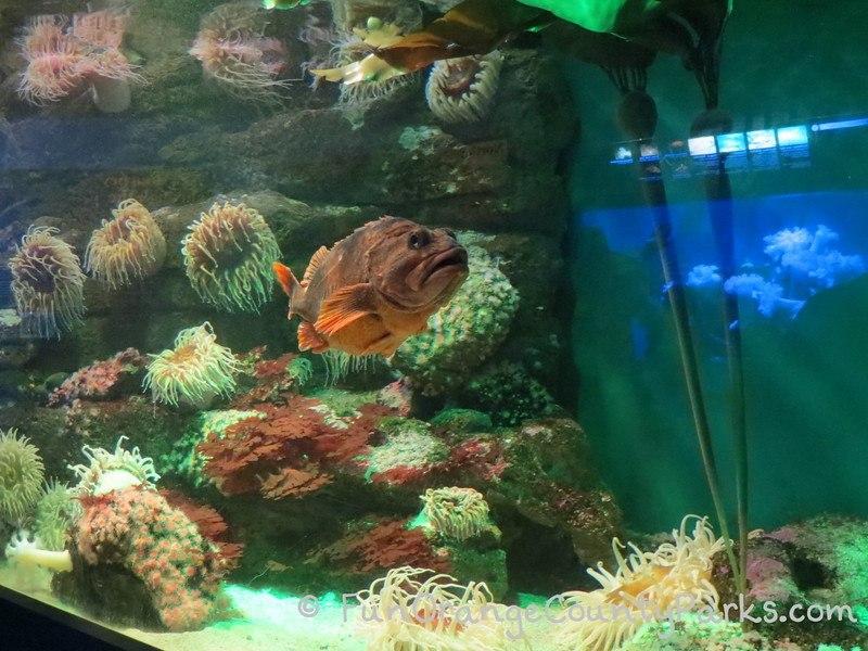 birch aquarium la jolla rockfish