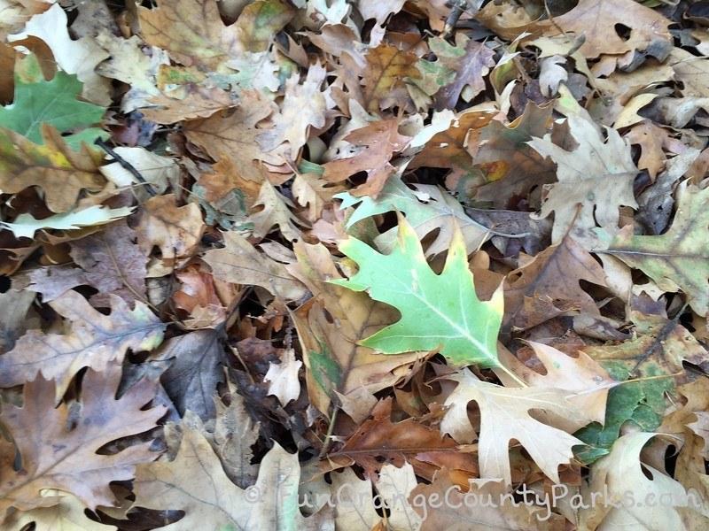 fall leaves at montane botanic garden oak glen