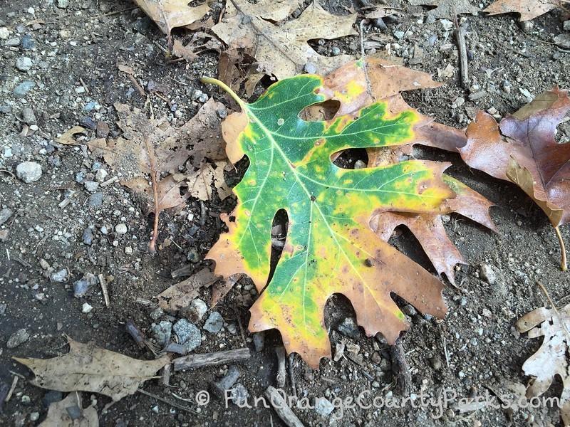 fall oak leaf montane botanic garden oak glen