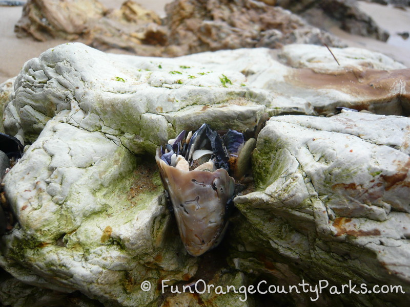 what looks like a cup of shells fused onto a rock face at the tidepools