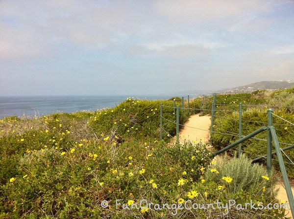 dirt trail in a field of yellow flowers with the ocean visible off the bluff