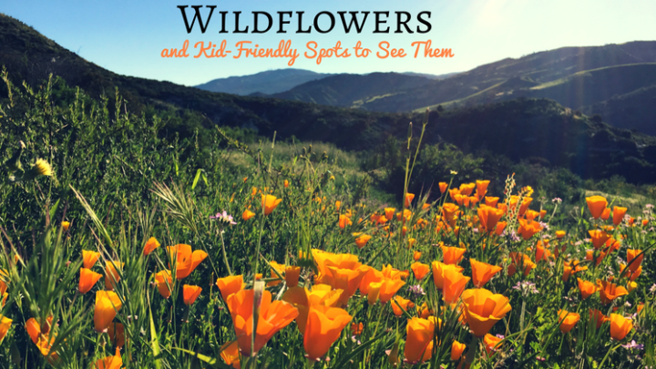 Wildflowers and Kid-Friendly Spots to See Them During SoCal Spring