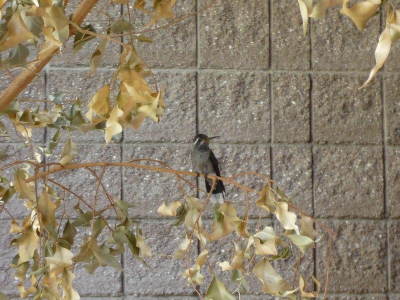 hummingbird parents bird in a tree