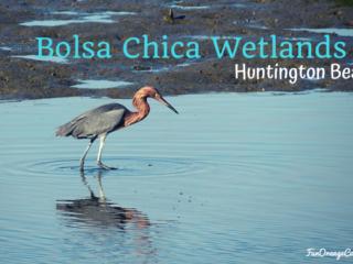 red heron fishing in muddy wetlands