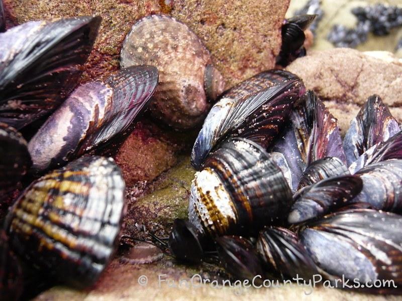 california mussels close-up