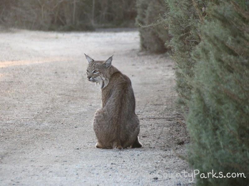 richard louv nature books - bobcat sitting on a dirt trail