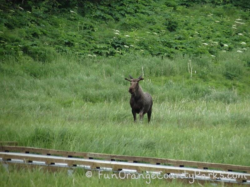 moose in a grassy meadow