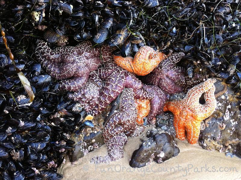 sea stars in a tidepool