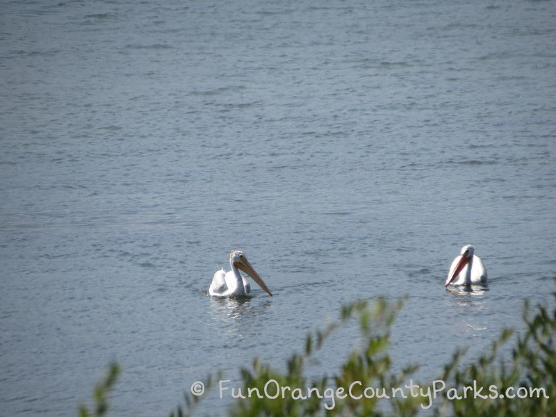 white pelicans floating in a lake