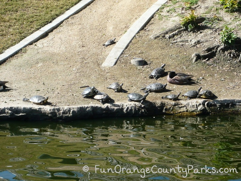 more than ten turtles sitting in the dirt at the edge of a pond