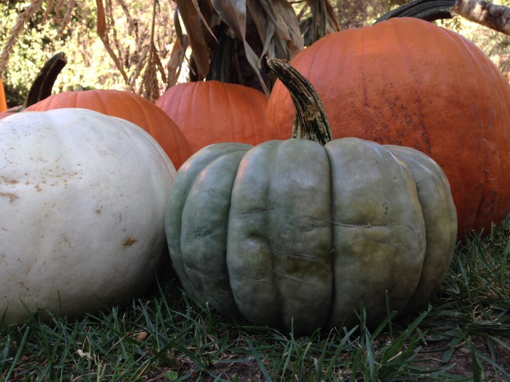 3 orange pumpkins behind a white and blue pumpkin in the foreground