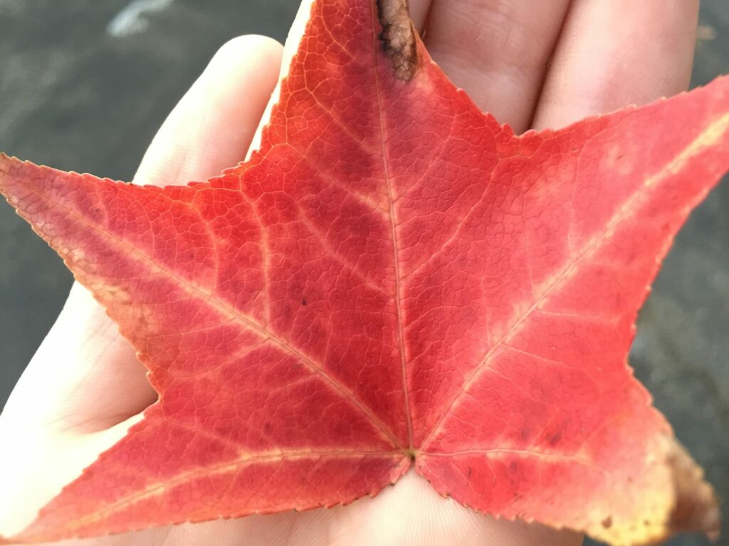 red fall leaf in a child's hand