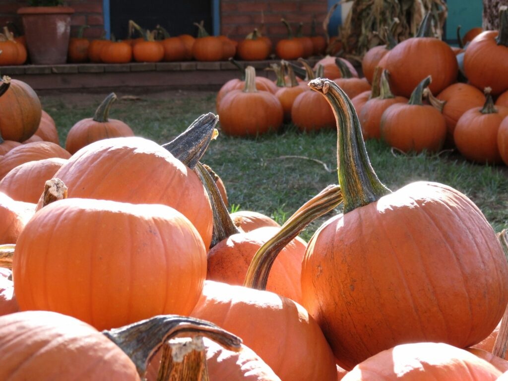 orange pumpkins at an October Halloween pumpkin patch
