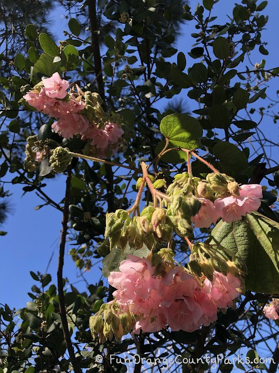 tree branches against blue sky with bunches of pink flowers hanging down toward ground